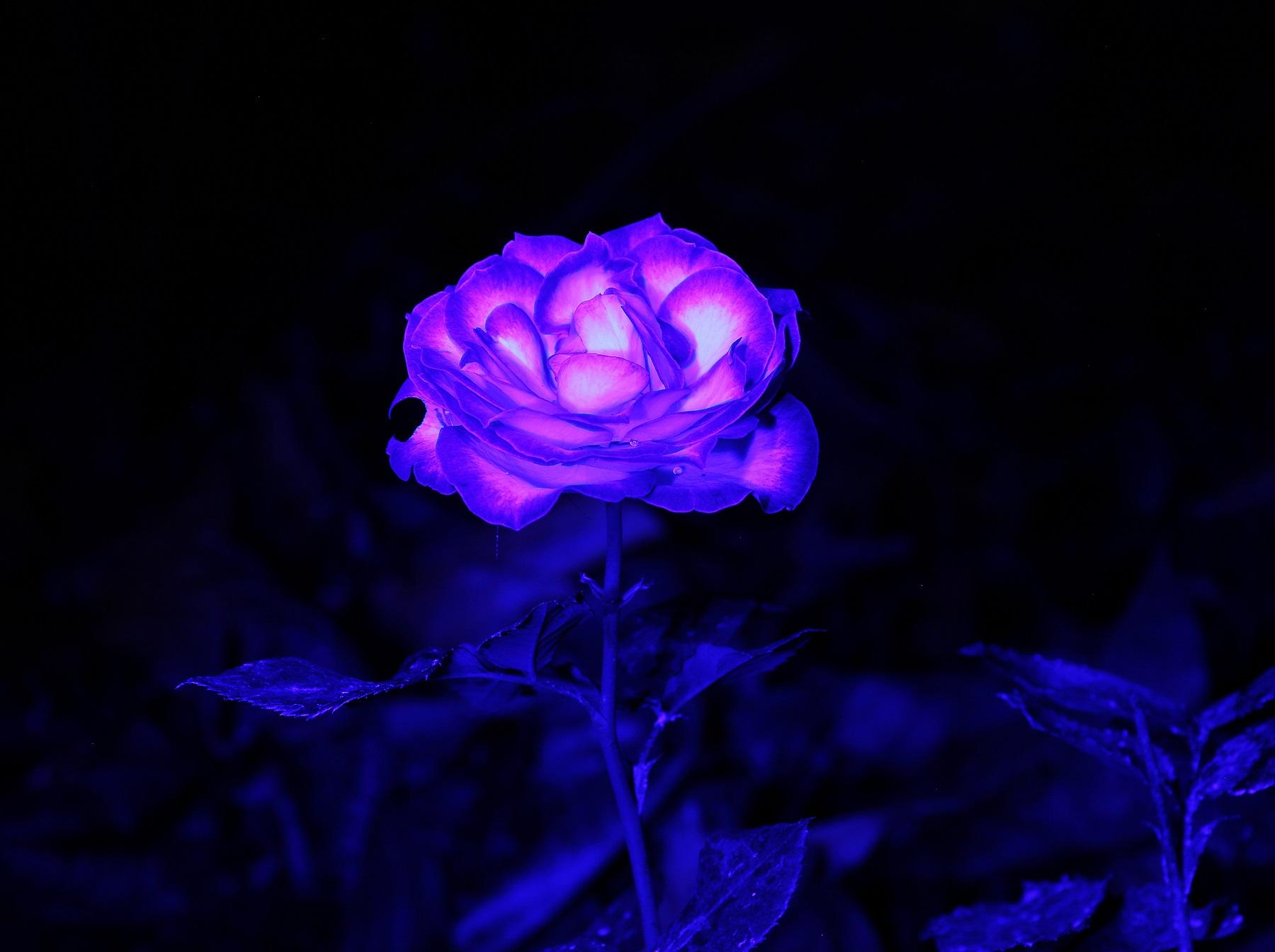 blue light rose